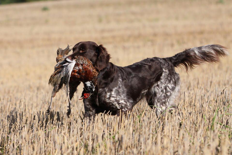 cani da caccia - le razze più rappresentative