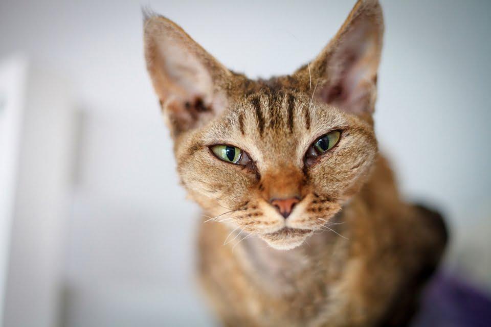 gatto Devon Rex