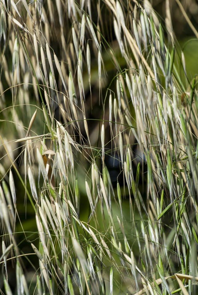 forasacchi - il pericolo del forasacco
