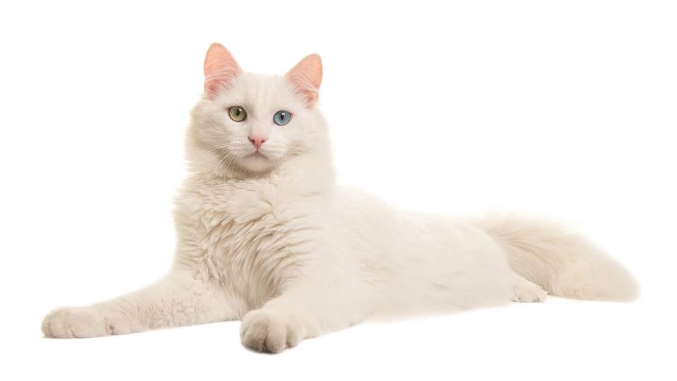 angora turco - gatto d'angora