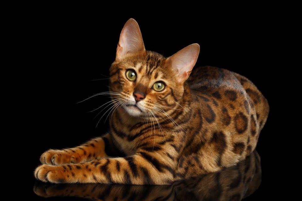 gatto del bengala - carattere - prezzo