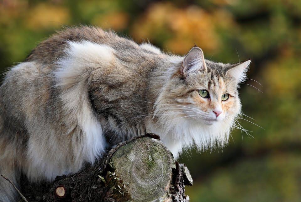 gatto delle foreste norvegesi - carattere - prezzo