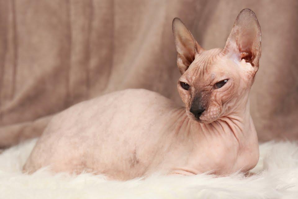 Gatto egiziano - Sphynx - gatto senza pelo