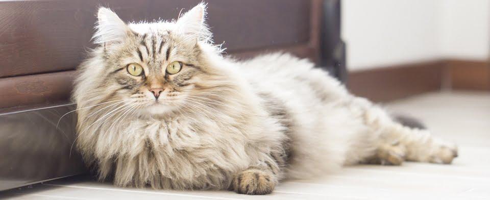 gatto siberiano - carattere - prezzi