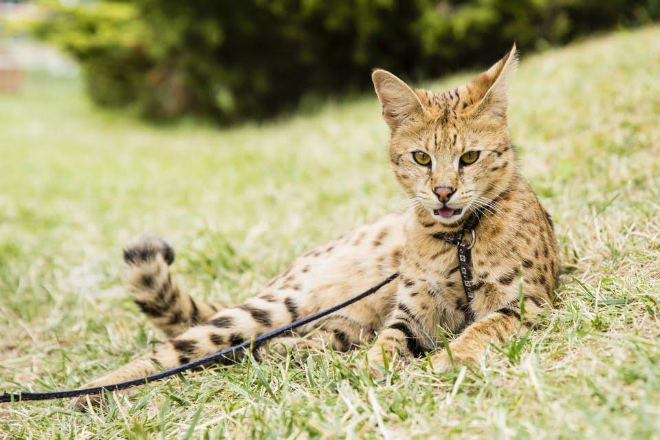 gatto savannah