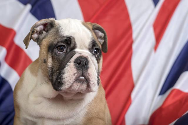 cane in inglese