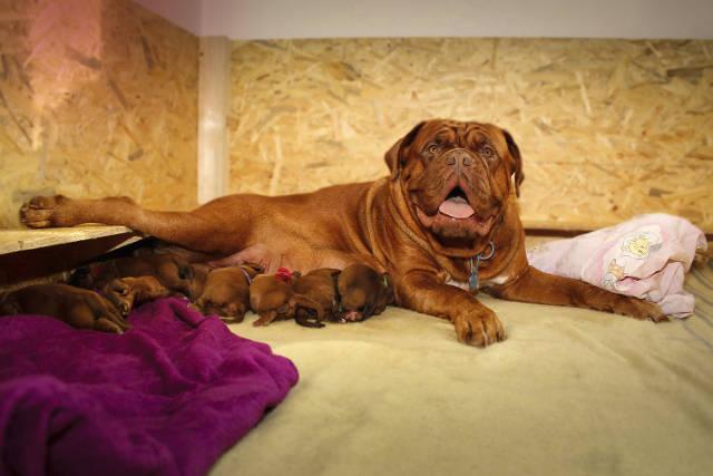 gravidanza nel cane
