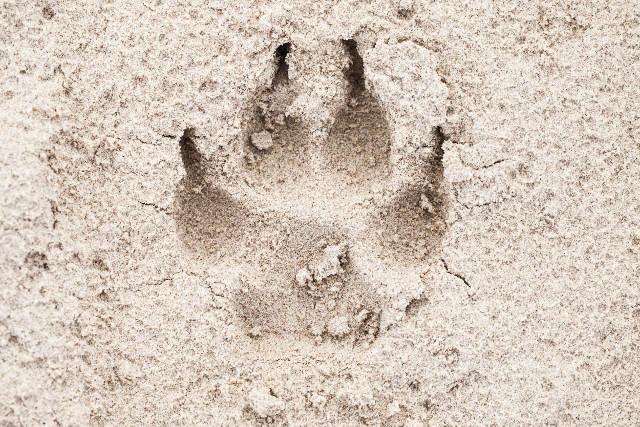 impronta del cane