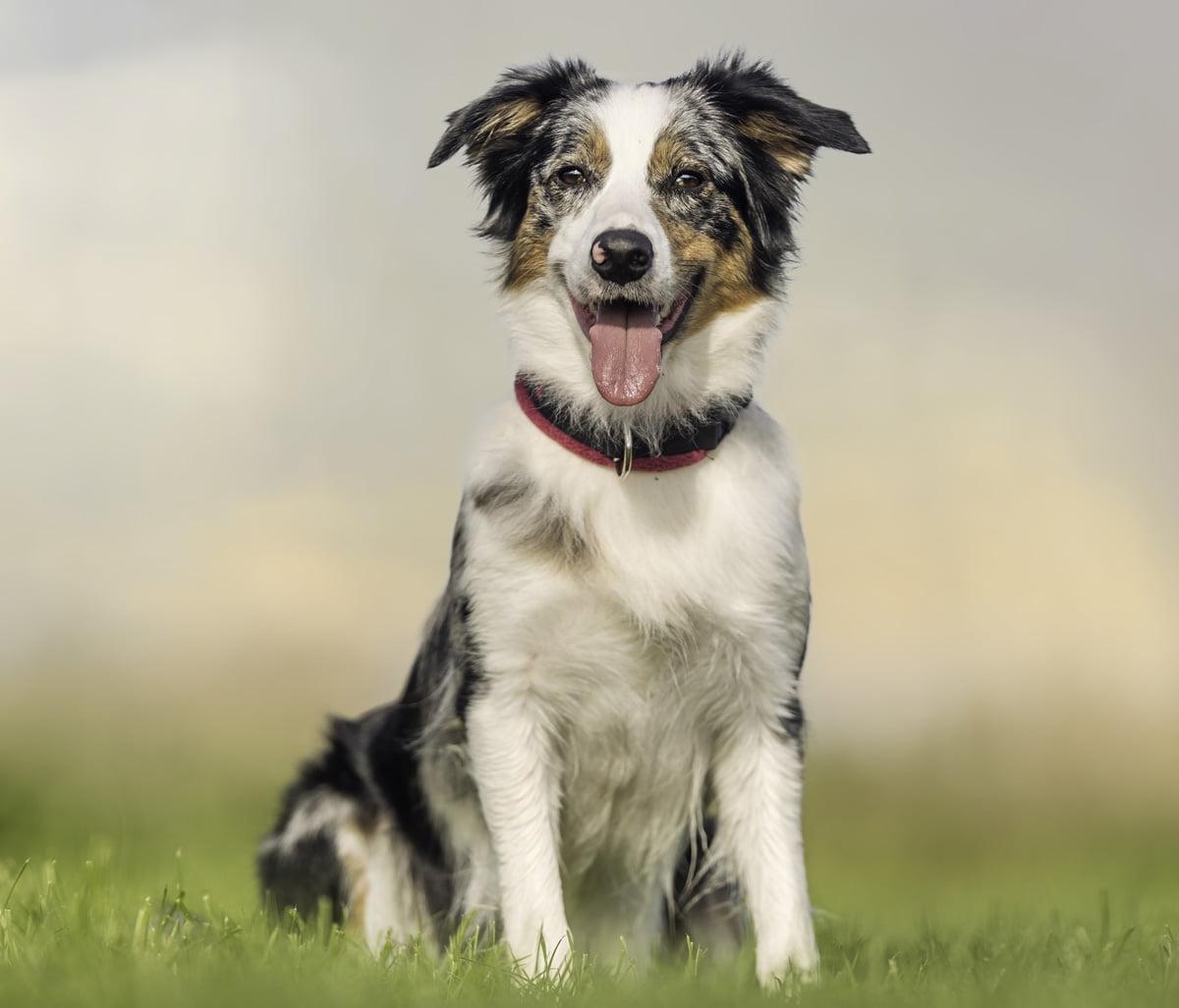cane da pastore australiano