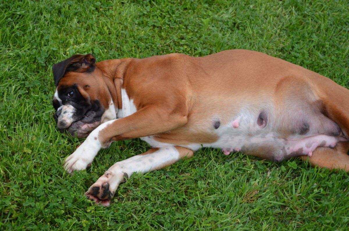 acromegalia nel cane