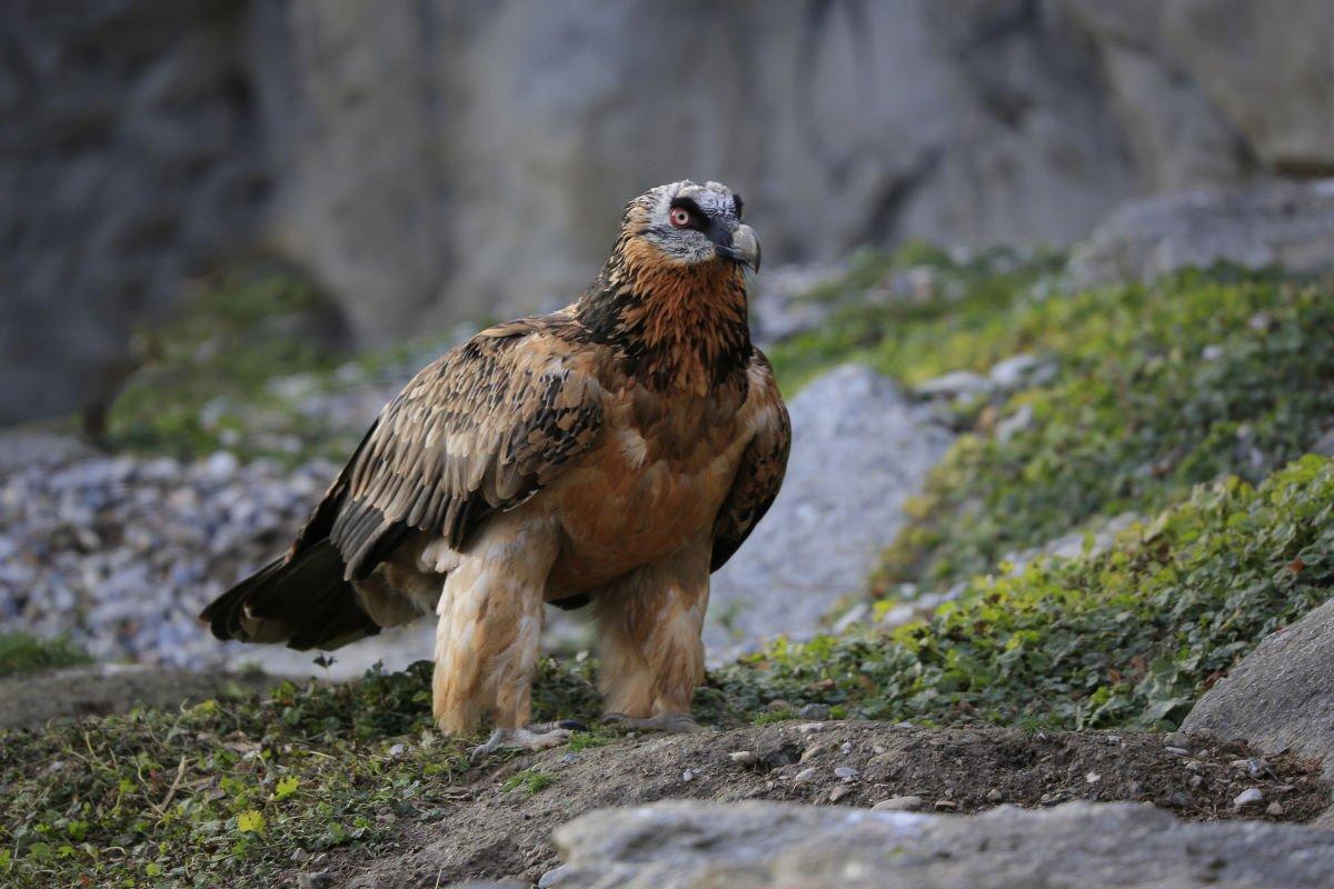 avvoltoio degli agnelli
