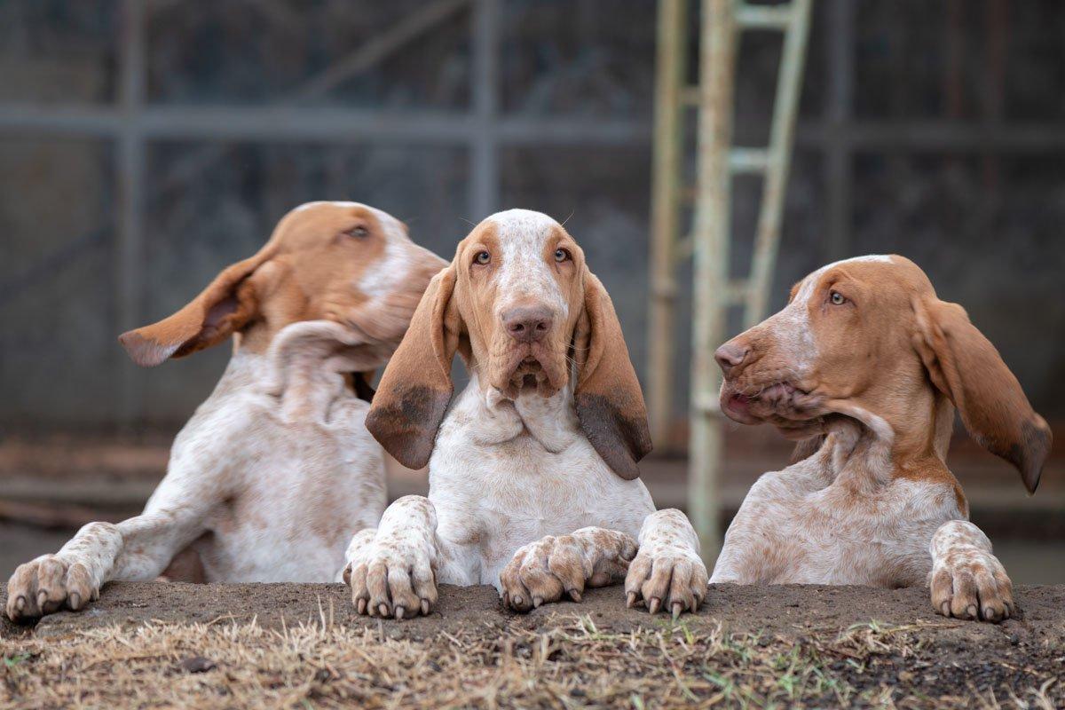 cuccioli di bracco italiano