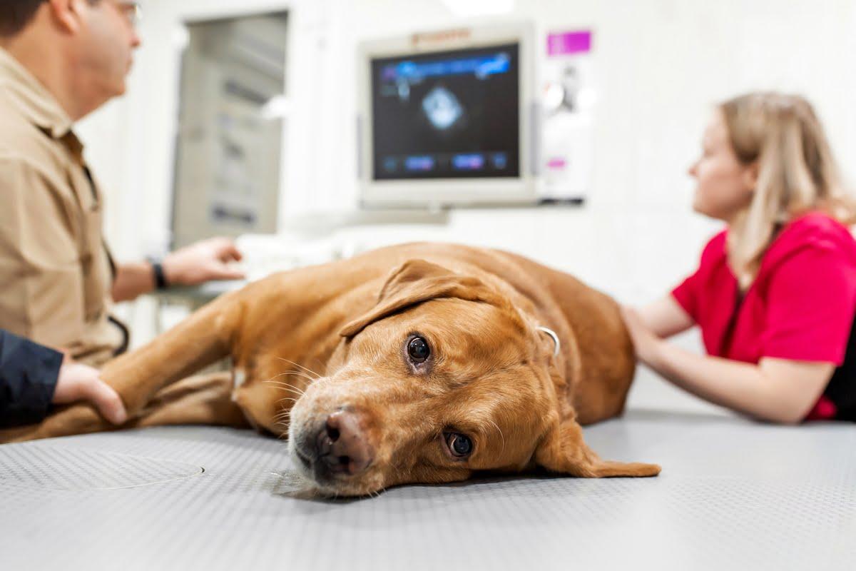 Peritonite cane