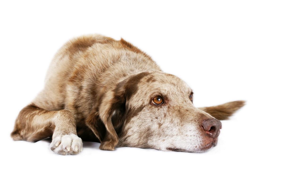 Plasil nel cane - A cosa serve - Effetti collaterali - Controindicazioni