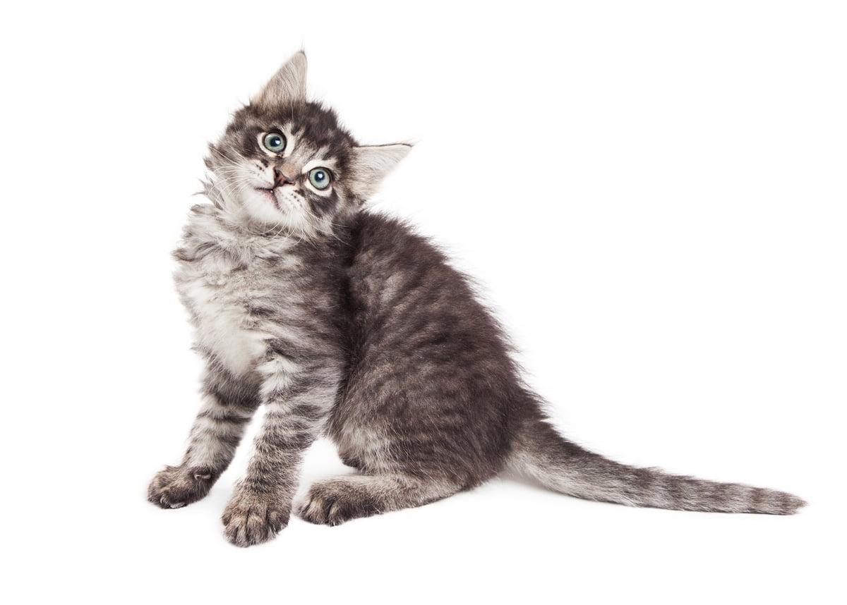 sindrome vestibolare gatto