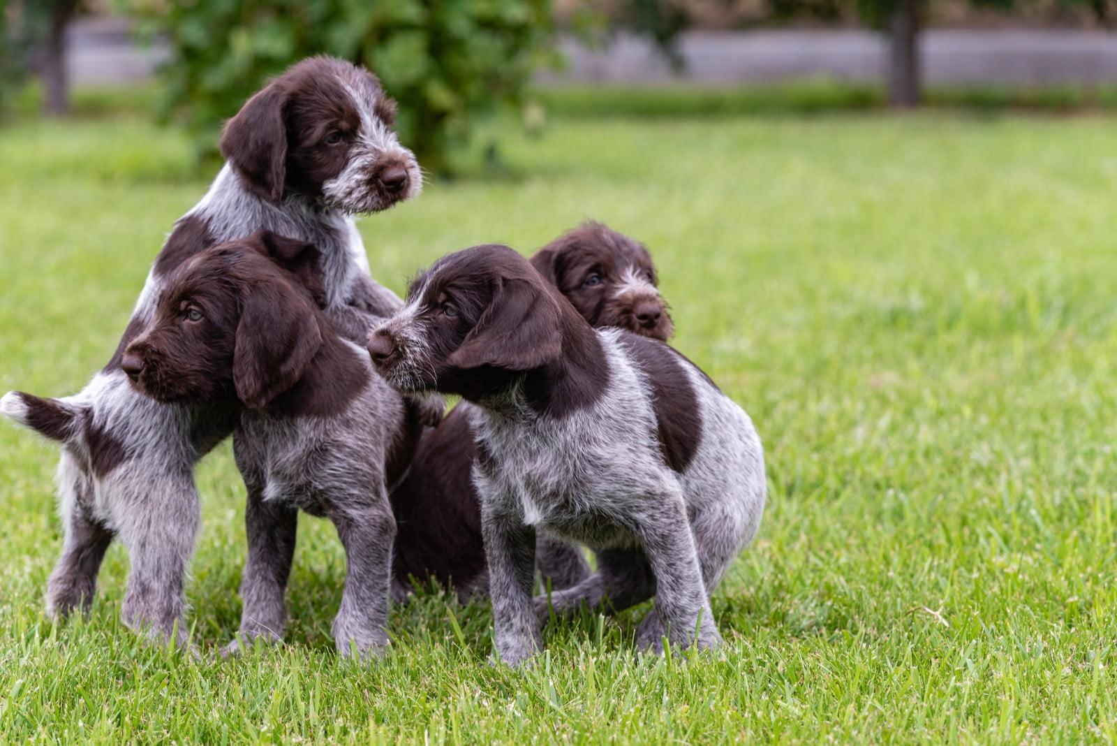 cuccioli di drahthaar
