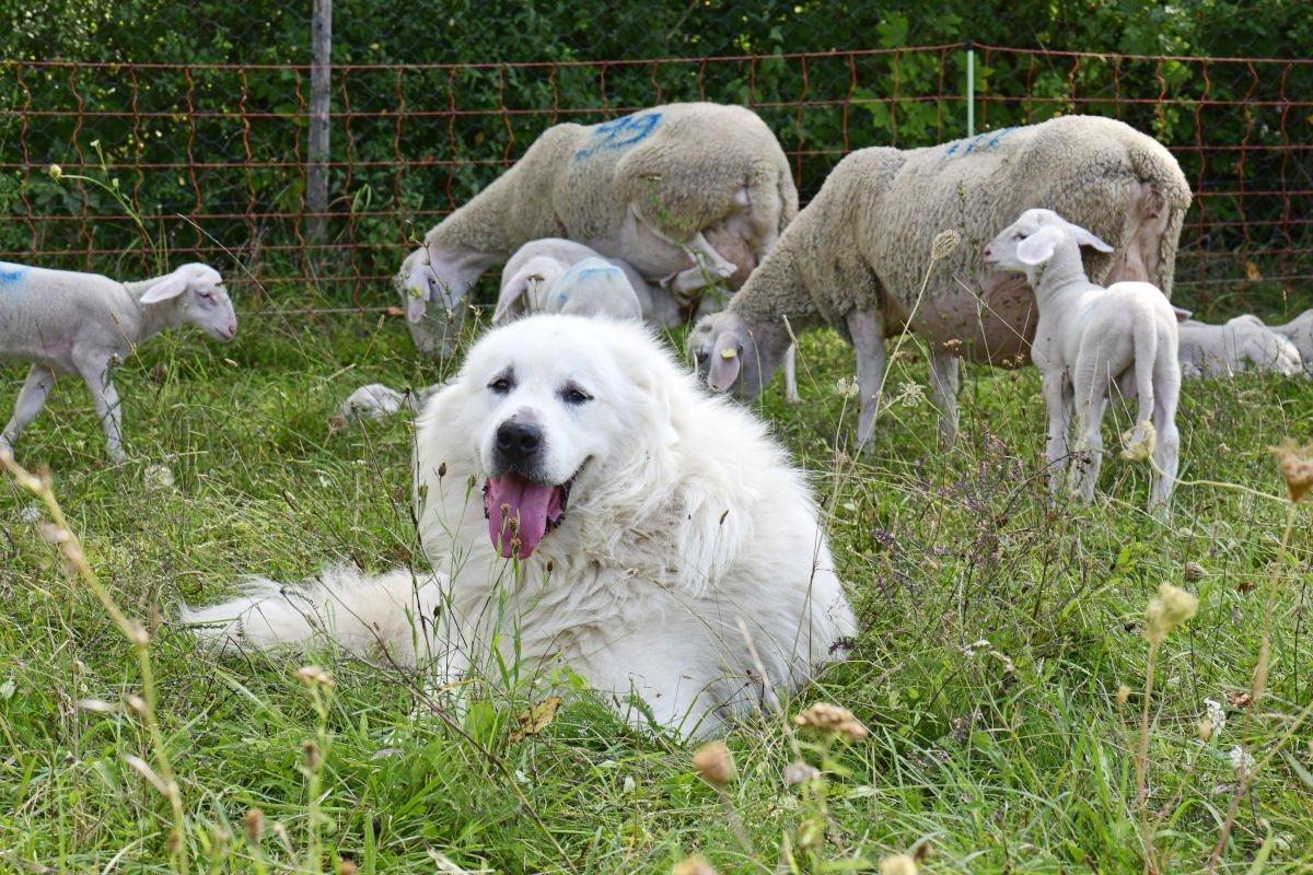 cane da montagnaa dei Pirenei
