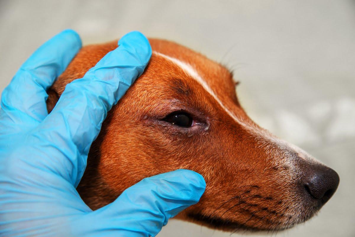 Anaplasmosi canina