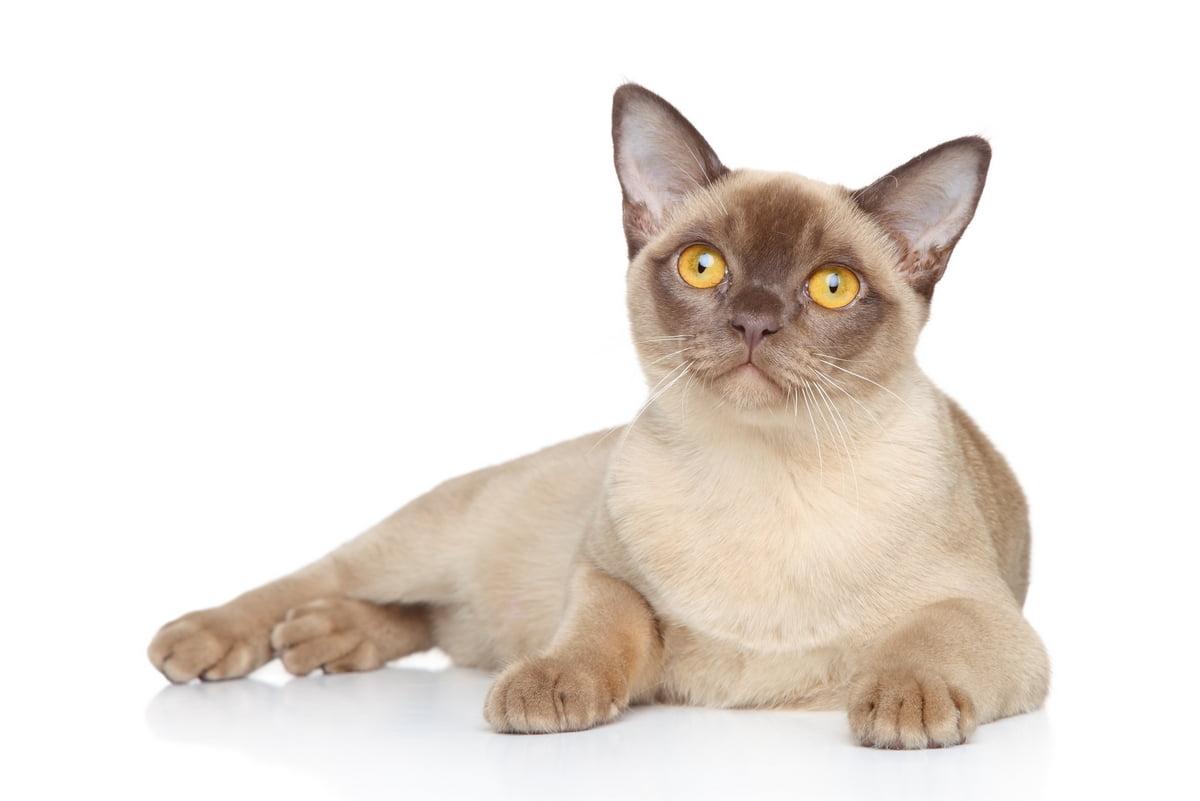 Peritonite infettiva felina (FIP)