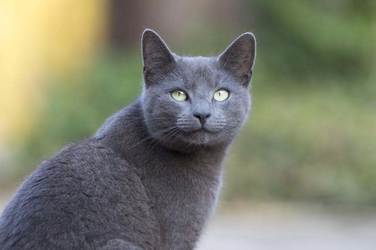 Blu di Russia gatto