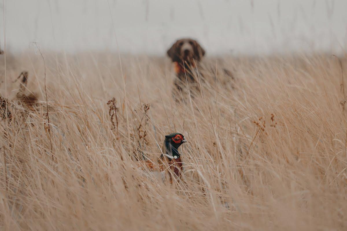 Azione di caccia nei cani da ferma e da cerca