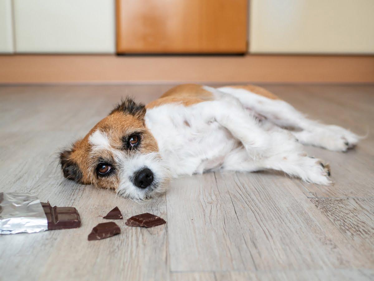 Cioccolato e cani