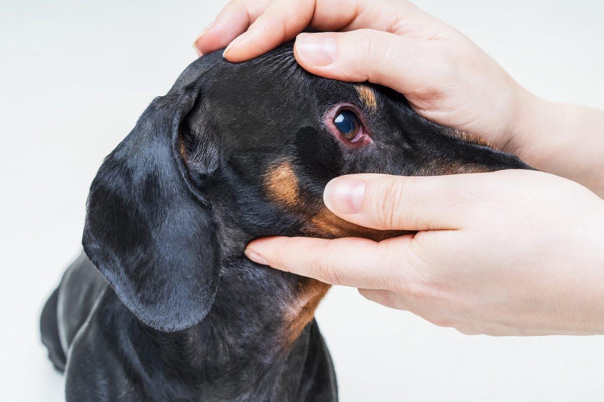 Congiuntivite nel cane - sintomi - Rimedi