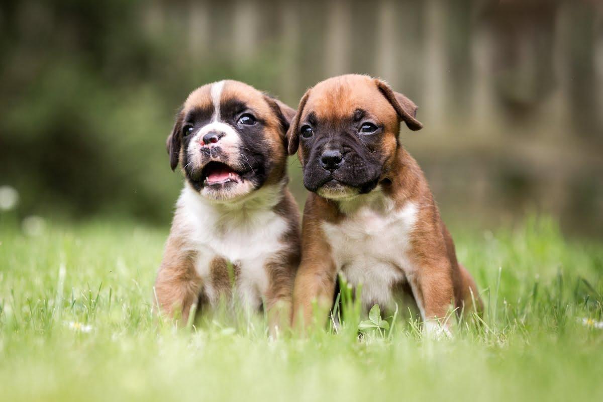 Come acquistare un cane