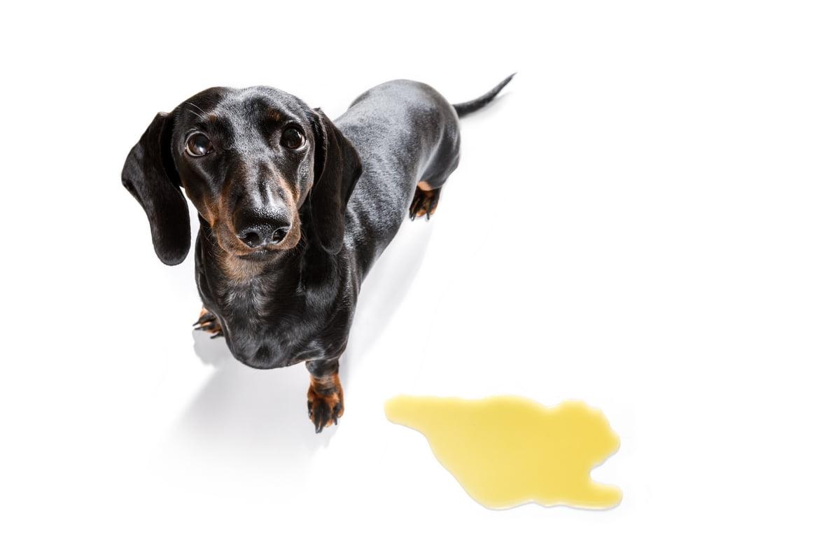 Incontinenza urinaria nel cane