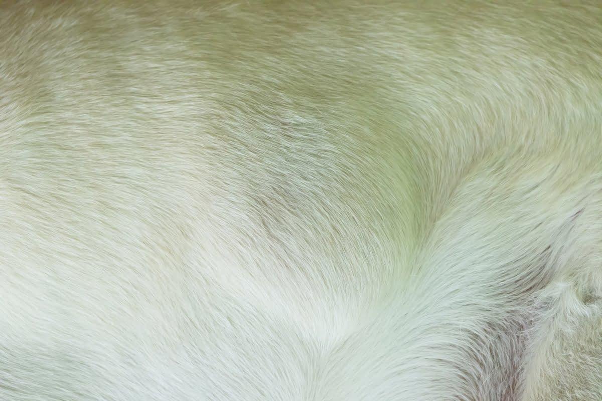 lipoma nel cane