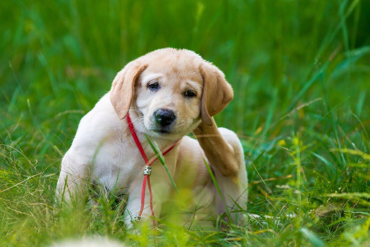 Prurito nel cane