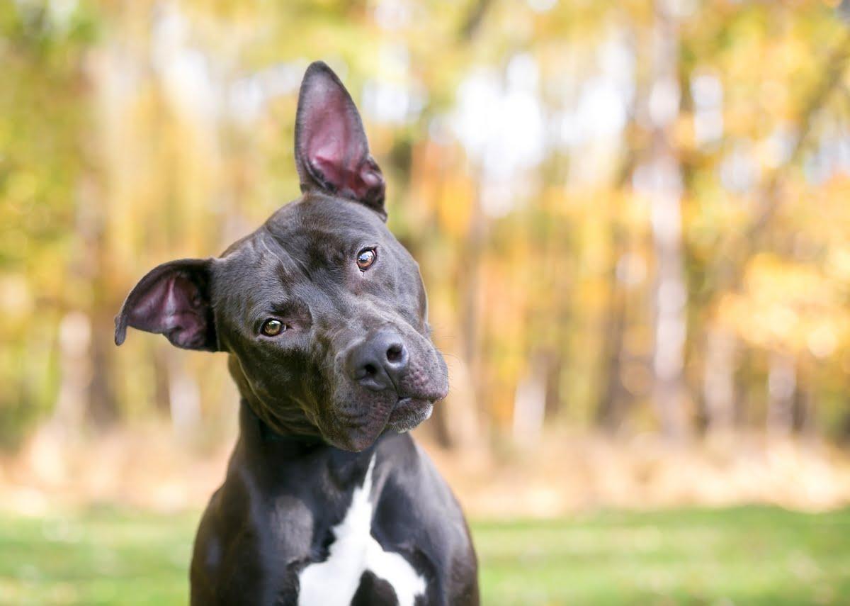 sindrome vestibolare nel cane