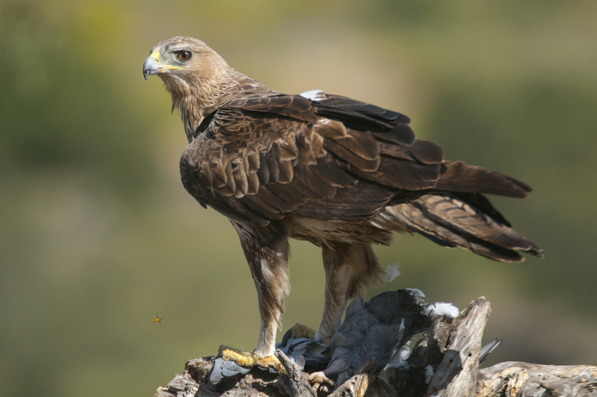 Aquila del Bonelli - Hieraaetus fasciatus