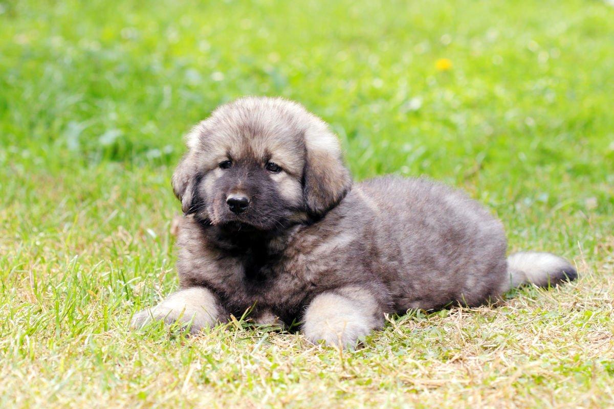 cane da pastore di Ciarplanina