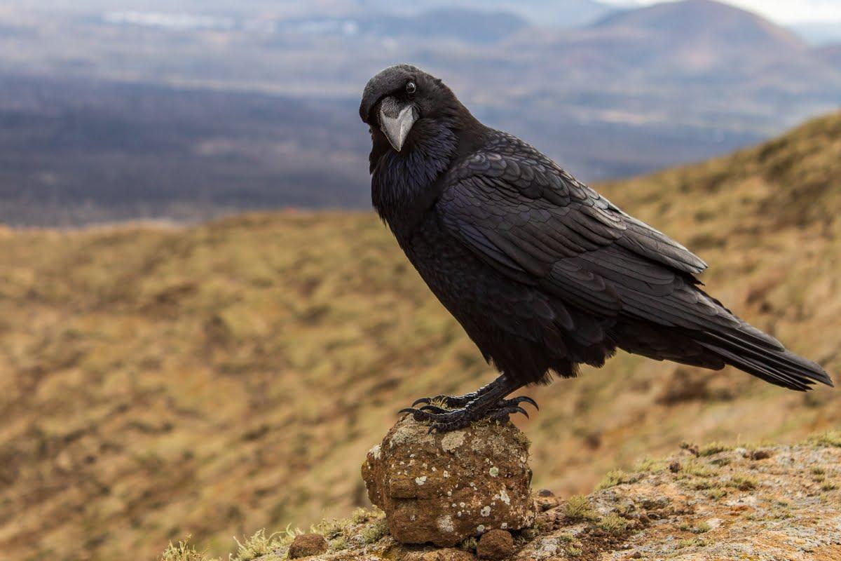 Corvo imperiale