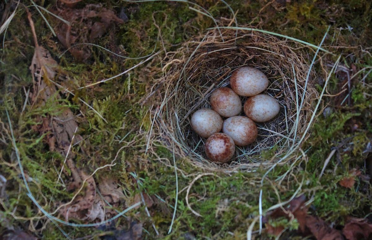Uova di pettirosso
