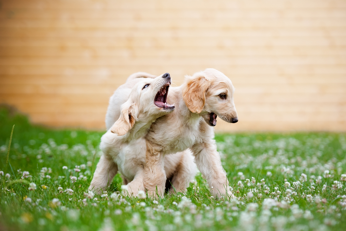 Levriero afgano cuccioli